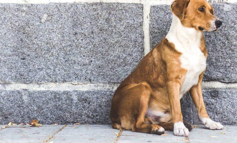 Perro callejero: casi 20 millones de animales sin hogar en México